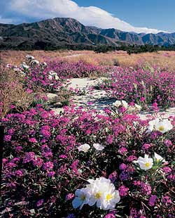 Clusters of small, tubular verbena and perennial primrose in Palm Springs